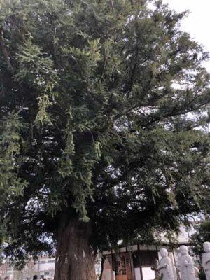 石田寺のカヤノキ