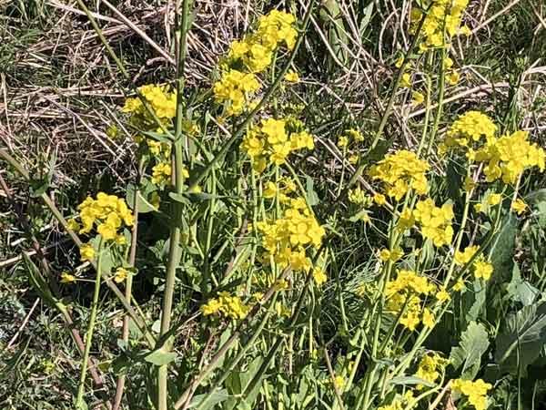 丹後の渡し跡付近に咲いていた菜の花