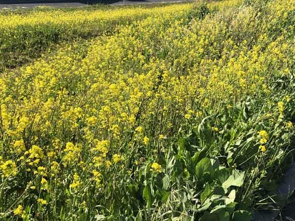 前間の渡し付近の菜の花
