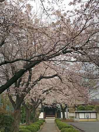 大昌寺門前の桜並木