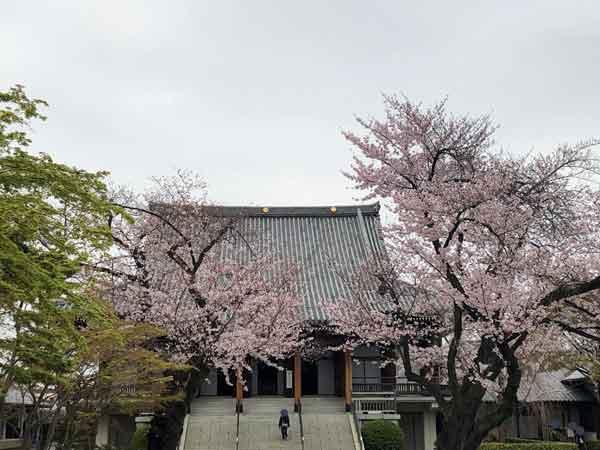 伝通院の桜