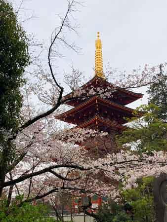 高幡不動尊五重塔と桜