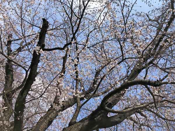 東光寺道ツアーで見た日野用水沿いの桜