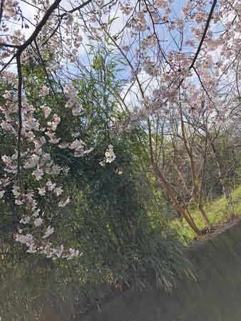 日野用水沿いの桜