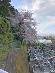 大蔵院から裏山を上る途中の桜