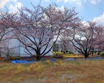 水再生センター付近に咲いていた桜