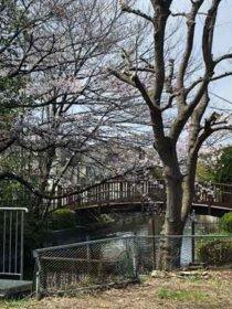 お茶屋の松に行く前にあった橋と桜