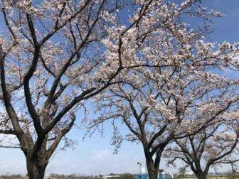 平町会館近くの桜