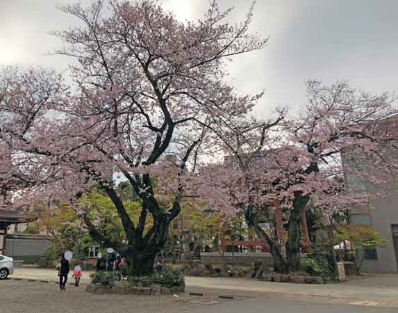 伝通院の鐘楼(桜の向こう中央右手)