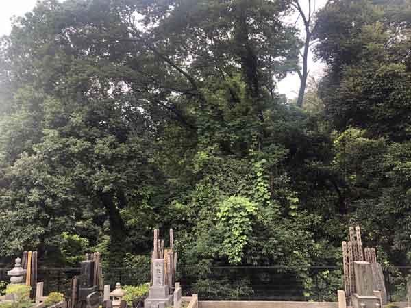 護国寺墓地から見える東の森は豊島岡墓地(柵の向こう)