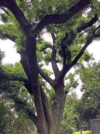 湯島聖堂の楷樹