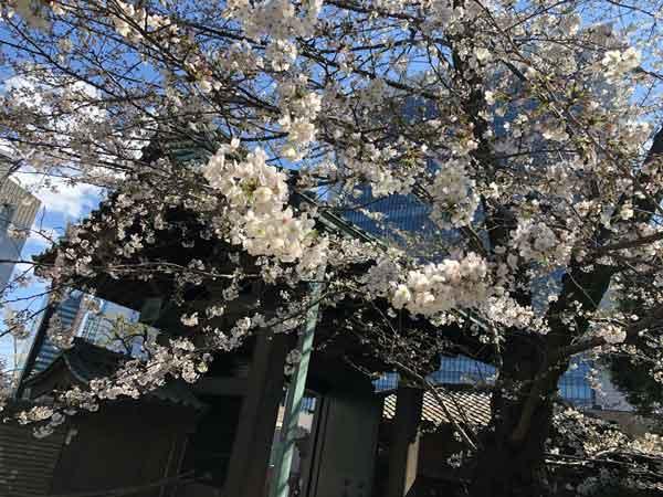 湯島聖堂・仰高門内側の桜